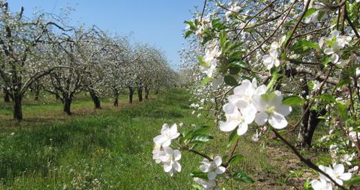 Blue ridge apple growers association apple growers in western north carolina 39 s blue ridge - Spring trimming orchard trees healthy ...